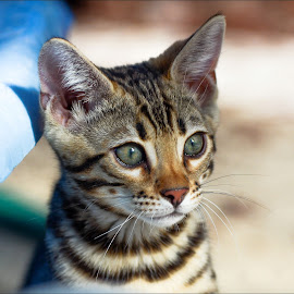 Gorgeous Bengal Boy by Rob Ebersole - Animals - Cats Kittens ( bengal kitten )