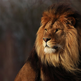 African lion by Tazi Brown - Animals Lions, Tigers & Big Cats ( big cat, lion, african lion, mane, king )