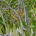 Common Yellowthroat ♀