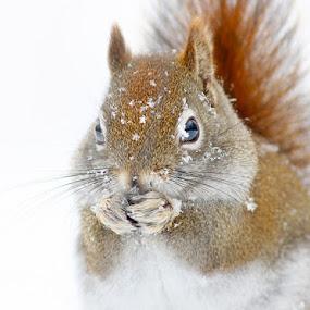 North American red squirrel in winter by Mircea Costina - Animals Other Mammals ( north american, wild, winter, red, canada, tamiasciurus hudsonicus, wildlife, squirrel )
