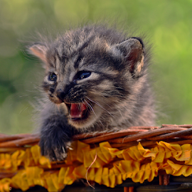 Miawww... by Sigit Purnomo - Animals - Cats Kittens