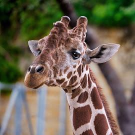 by Judy Rosanno - Animals Other Mammals ( san antonio zoo, june 2017 )