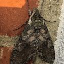 Carolina Sphinx Moth