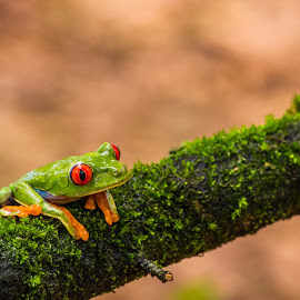 Rana de ojos rojos (Red-eyed Tree Frog / Agalychnis callidryas) by Erick Castro Alvarado - Animals Amphibians ( red, nature, frog, costa rica, reptil, eyes, animal,  )