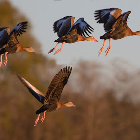 Flying into Sunset by Jacob Padrul - Animals Birds ( flying, whistling ducks, ducks, flock, birds,  )