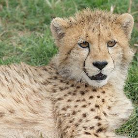 Young male cheetha by Charmane Baleiza - Animals Lions, Tigers & Big Cats ( charmane baleiza, big cats, young cats, wildlife, cheetha )