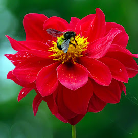 Dahlia  by Asif Bora - Flowers Flowers in the Wild