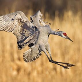 Sandhill Crane by Phoo (mallardg500) Chan - Animals Birds ( sandhill crane )
