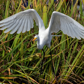 Lift Off by Raphael RaCcoon - Animals Birds ( bird, egret )