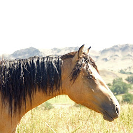 Wild girl by Diana Byes - Animals Horses ( wild horse, horse, south dakota, buckskin )