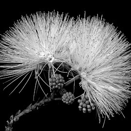 Wild  by Asif Bora - Black & White Flowers & Plants (  )