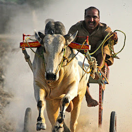 Bull Cart Race by Abdul Rehman - Sports & Fitness Other Sports ( pakista'multan, bull cart, rural life, rural sport, canon 7d )