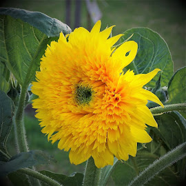 Sunflower by Sarah Harding - Novices Only Flowers & Plants ( novices only )