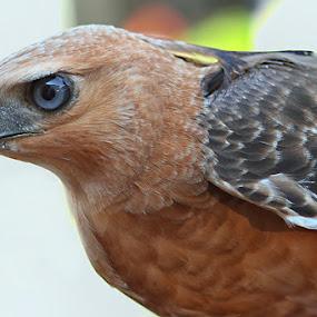 Elang Jawa Part 3 by Dimas N - Animals Birds