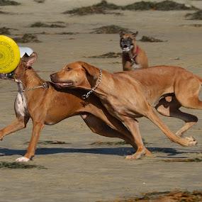 I'll catch you by Mariusz Murawski - Animals - Dogs Playing ( rhodesian ridgeback )
