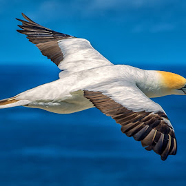 Gannet, by Graeme Hunter - Animals Birds