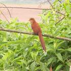cuco ardilla - Squirrel Cuckoo