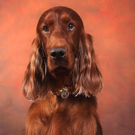 The setter stare by Ken Jarvis - Animals - Dogs Portraits ( dog portraits, portraits, irish, irish setter, dog )