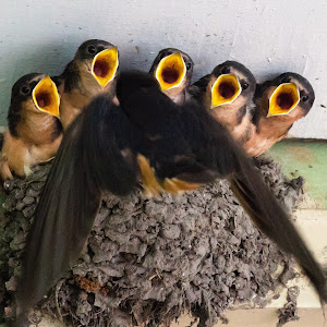 Barn Swallows-3.jpg