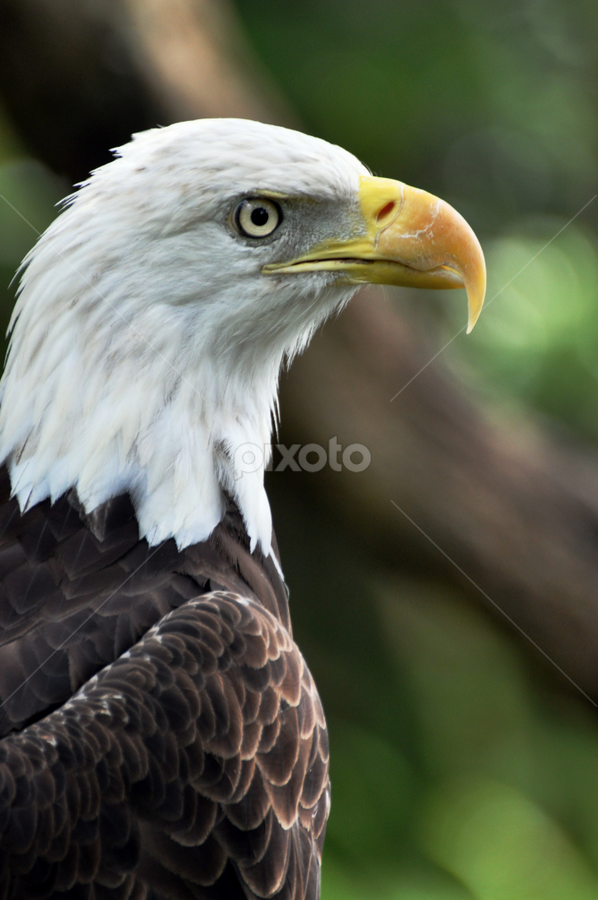 Bald Eagle by Emily Vickers - Novices Only Wildlife ( eagle, freedom, america, symbol, beak, bald eagle, symbolic, wildlife, feathers, birds )