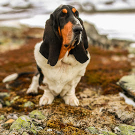 Cornelius the Regal by Annette Nordlinder - Animals - Dogs Portraits ( long ears, mountain, snow, white, brown, basset hound, dog, black )