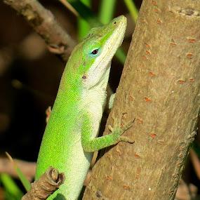 Green Anole by Erika  Kiley - Novices Only Wildlife ( lizard, green, texas, branch, wildlife )