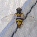 Common Oblique Syrphid