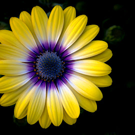 Daisy by Mark Ritter - Flowers Single Flower ( macro, nature, flora, beautiful, garden, closeup, floral, flower,  )