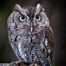Screech owl by Sandy Scott - Animals Birds ( birds of prey, owl close-up, screech owl, owl, birds, raptors )