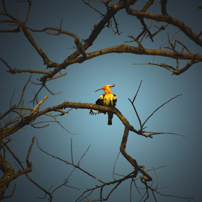 Hoopoe by Sudipta Mukhopadhyay - Novices Only Wildlife ( bird, tree, sky. no leaf, low light )