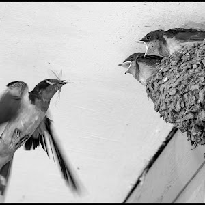 Barn Swallows-18.jpg