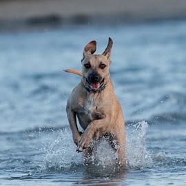 Elation on paws by Kevin Mummau - Animals - Dogs Running ( dog park, play, ocean, beach, dog beach )