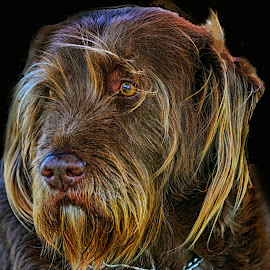 Wire-Haired Pointing Griffon - Portrait by Twin Wranglers Baker - Animals - Dogs Portraits