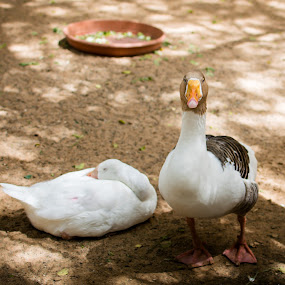 Mr. and Mrs. by Erika Fisher - Animals Other ( farm, animals, pairs, ducks, birds,  )