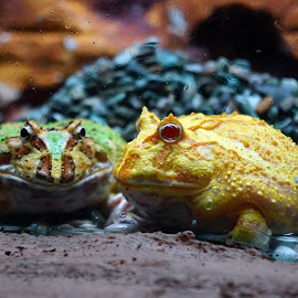 Frogs by Nikolas Findy - Animals Amphibians (  )