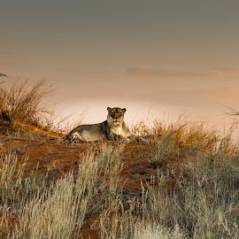 Lioness in the Last Rays of the Sun by Colin Chalkley - Animals Lions, Tigers & Big Cats ( leo panthera, twilght in africa, lioness, sunset, etosha national park, namibia )