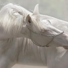 pure by Che Vienes - Animals Horses ( horseback, stallion, horses, equine )