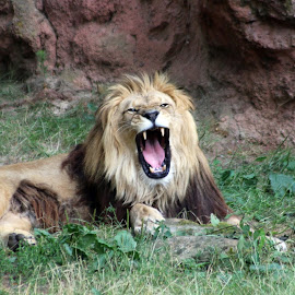 tired lion by Carola Mellentin - Animals Lions, Tigers & Big Cats (  )