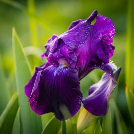 Deep Purple by Chad Roberts - Flowers Flower Gardens ( purple, chad roberts, chadseyes, iris, image, chadroberts.blogspot.com, landscape, garden, spring, flower, photography )