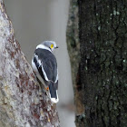 White crested helmet shrike