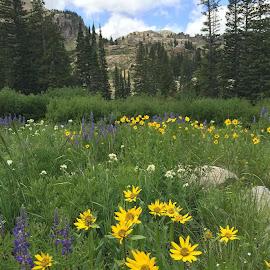 Albion Basin Wildflowers by Stephen Terakami - Novices Only Flowers & Plants ( albion basin wildflowers utah 2015 )