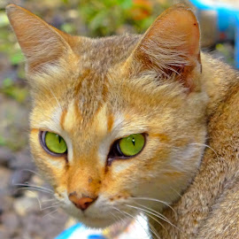 green eye by Asif Bora - Animals - Cats Portraits