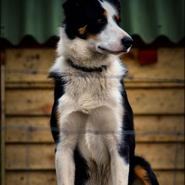 poser by Nic Scott - Animals - Dogs Portraits ( pooch, dog, portrait, animal )