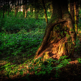 Forest scene by Klaus Müller - Nature Up Close Trees & Bushes ( tree, forest, light )