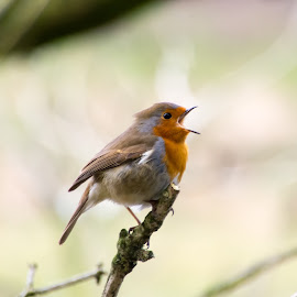 Robin in Full Song by Bryan Dinsdale - Novices Only Wildlife