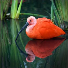 Red Ibis by Bram de Mooij - Animals Birds ( red, ibis, zoo )