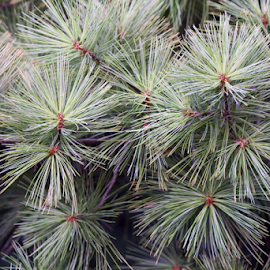 Pine Tree by MaryKathryn Zuza - Nature Up Close Trees & Bushes ( pines, tree, pine tree, green, soft pine,  )