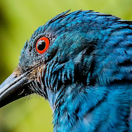 Bluie by Ken Nicol - Animals Birds (  )