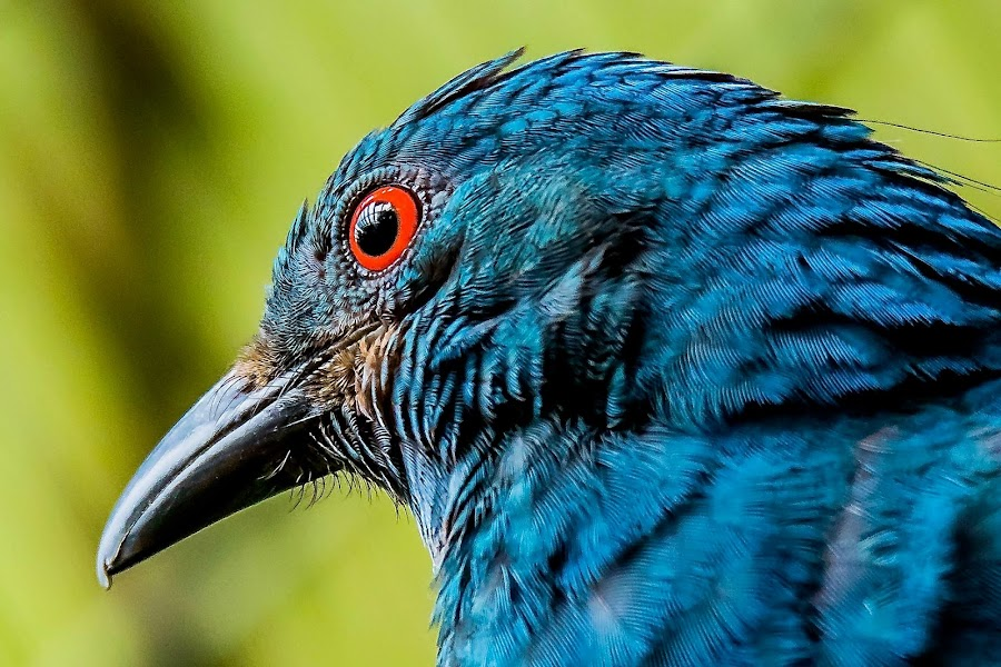 Bluie by Ken Nicol - Animals Birds (  )