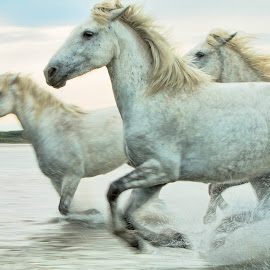 Camargue mares 3 by Helen Matten - Animals Horses ( water, galloping, mares, wild, screen, horses, camargue, white, accross )